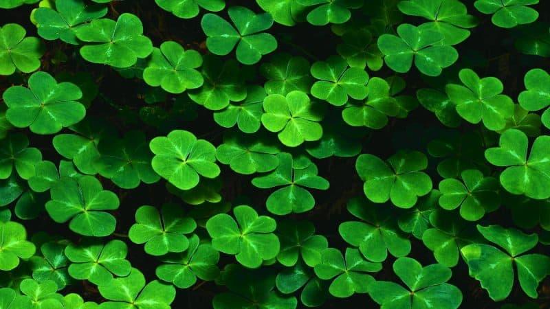 bushes-leaves-clover